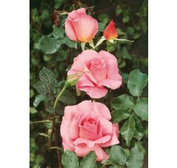 Rosa ´Sultane´ / Ruža čajohybrid, krík, BK