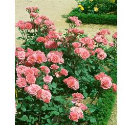 Rosa ´Tom-Tom´ / Ruža mnohokvetá, krík, BK