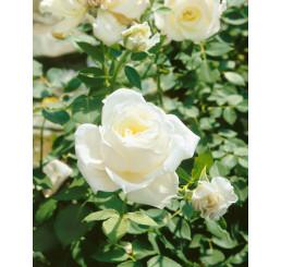 Rosa ´Virgo´ / Ruža čajohybrid, krík