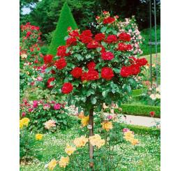 Rosa ´Chrysler Imperial´ / Ruža čajohybrid, KMIENOK 120 cm, BK