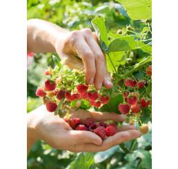 Rubus idaeus ´Bohéme´ / Malina červená, K11