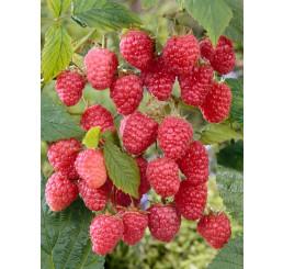 Rubus idaeus ´Delniwa´ / Malina červená, K11