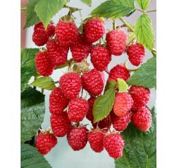 Rubus idaeus ´Gordosť Rossi´ / Malina červená, K11