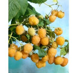 Rubus idaeus ´Valentina´ / Malina červená, K11