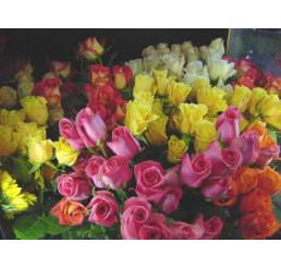 Rosa mix / Kolekcia ušľachtilých ruží, bal. 3 kríky, 3xBK