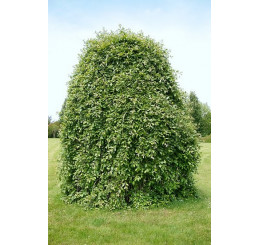 Salix caprea ´Kilmarnock´ / Vŕba rakytová previsnutá, 180 cm kmienok, C7,5