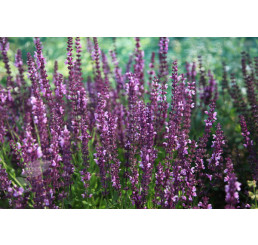 Salvia superba ´Rose Queen´ / Šalvia nádherná, K9