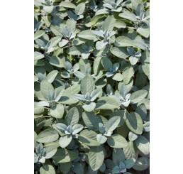 Salvia officinalis ´Culinaria´ / Šalvia, 15-20 cm, K9