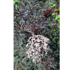 Sambucus nigra ´Eva Lace´/ Baza čierna , 15-20 cm, K14