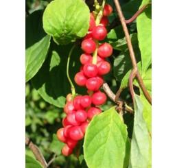 Schisandra chinensis / Schizandra čínska, K9