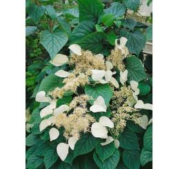 Schizophragma hydrangeoides ´Moonlight´ / Popínavá hortenzia , 40-50-cm, C2