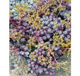 Sedum spathulifolium ´Purpureum´ / Rozchodník, C1,5