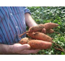 BIO Ipomoea batata / Sladký zemiak, K12
