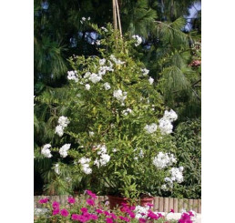 Solanum jasminoides / Ľulok jazmínový zelenolistý, K7