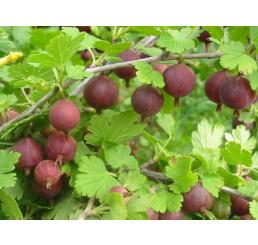 Ribes grossularia ´Spinefree´ / Egreš červený beztŕnny, 20-30 cm, ker, C2