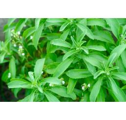 Stevia rebaudiana ´Improved Compact´ / Stévia cukrová, K7