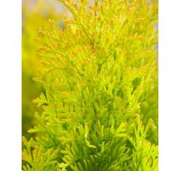 Thuja occidentalis ´ Sunny Smaragd´ / Tuja smaragdová, 20 cm, K9