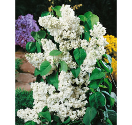 Syringa vulgaris ´Madame Lemoine´ / Orgován plnokvetý biely, 15-20 cm, K9