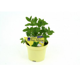 BIO Mentha spicata Marocco / Marocká mäta, K12