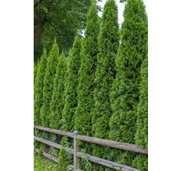 Thuja occidentalis ´Smaragd´ / Tuja smaragdová, 40 - 60 cm, C2 - AKCIA