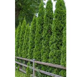 Thuja occidentalis ´Smaragd´ / Tuja smaragdová, 140-160 cm, KB - AKCIA