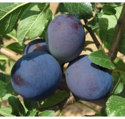 Prunus domestica  ´Tophit´ / Slivka jesenná veľkoplodá, wangenh.