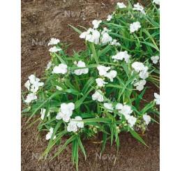 Tradescantia andersoniana ´Alba´ / Tradeskancia záhradná, K9