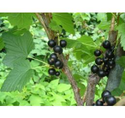 Ribes nigra ´Triton´ / Ríbezľa čierna, krík, 2-3 výh.