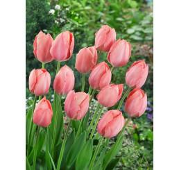 Tulipa ´Salmon Van Eijk´ / Tulipán, bal. 5 ks, 12+