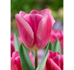 Tulipa ´Jumbo Pink´ / Tulipán, bal. 5 ks, 11/12