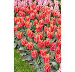 Tulipa ´Calypso´ / Tulipán, bal.5 ks, 11/12