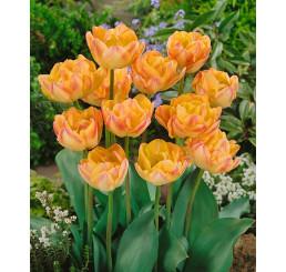 Tulipa ´Creme Upstar´ / Tulipán, bal. 5 ks, 11/12