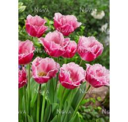 Tulipa ´Dallas´ / Tulipán, bal. 5 ks, 11/12