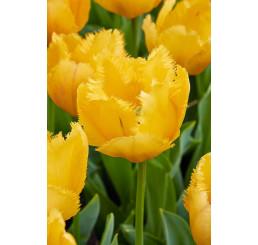 Tulipa ´Crystal Star´ / Tulipán, bal. 5 ks, 11/12