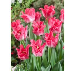 Tulipa ´Dynasty´ / Tulipán, bal. 5 ks, 12/+