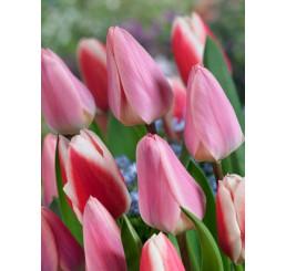Tulipa ´Light and Dreamy´ / Tulipán, bal. 5 ks, 11/12
