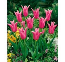 Tulipa ´Mariette´ / Tulipán, bal. 5 ks, 12/+