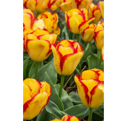 Tulipa ´Outbreak´ / Tulipán, bal. 5 ks, 11/12