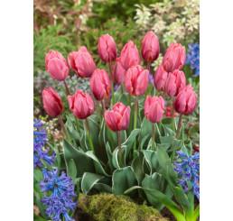 Tulipa ´Pretty Princess´/ Tulipán, bal. 5 ks, 11/12
