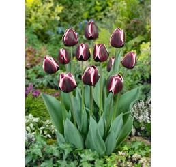 Tulipa ´Fountainebleau´ / Tulipán, bal. 5 ks, 11/12