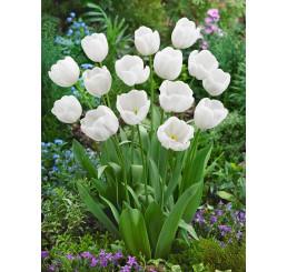 Tulipa ´White Dream´ / Tulipán, bal. 5 ks, 11/12