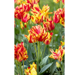 Tulipa ´Wonder Club ´ / Tulipán, bal. 5 ks, 11/12