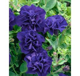 Petunia x atkinsiana ´Tumbelina® Belinda´ / Petúnia plnokvetá modrofialová, bal. 6 ks sadbovačov