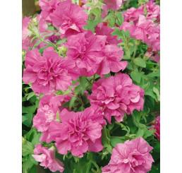 Petunia x atkinsiana ´Tumbelina® Candyfloss´ / Petúnia plnokvetá ružová, bal. 6 ks sadbovačov