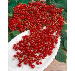 Ribes rubrum ´Jonkheer van Tets´ / Červená ríbezľa, kmienok, rib.zl