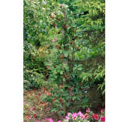 Rubus fruticosus ´Loch Ness´® / Černica beztŕňová, K11