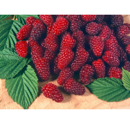 Rubus fruticosus ´Tayberry Buckingham´ / Malinočernica, 20-30 cm, K11