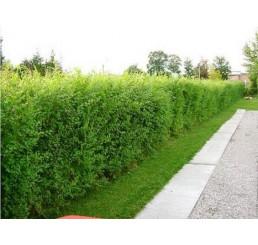 Ulmus pumila celer / Turkestanský brest / Zázračný živý plot, bal. 10 ks, VK na živý plot