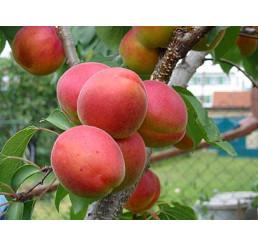 Prunus armeniaca ´Vesna´ / Marhuľa, myr.