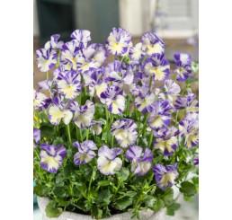 Viola hybrida ´Rebecca´ / Fialka bielofialová, K9